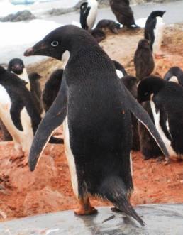 adelie penguin hire photo art director for antarctica